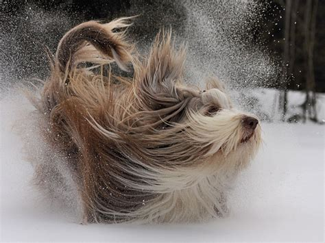 Bearded Collie Breed Guide - Learn about the Bearded Collie
