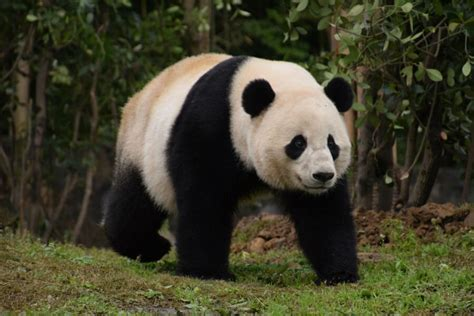 Why are pandas black and white? Science finds clues