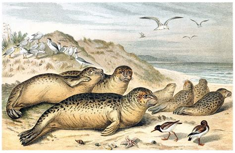 Harbor Seal – Old Book Illustrations