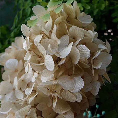 Preserved Hydrangeas, Natural, 12 Bunches