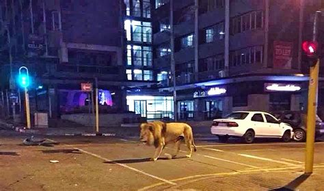 Paws at the lights - lion spotted roaming streets of city