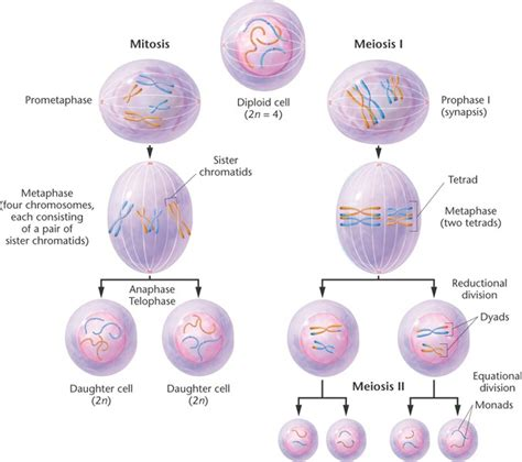 Chapter 2 Mitosis and Meiosis