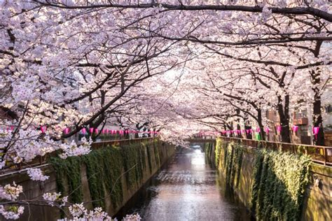 Cherry Blossoms in Tokyo: Best Spots and Guide - Japan