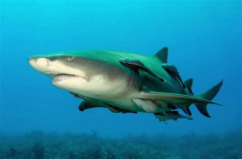 5 incredible facts about sharks - from bioluminescence to